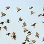 נדידת ציפורים מעל לבקע ים המלח